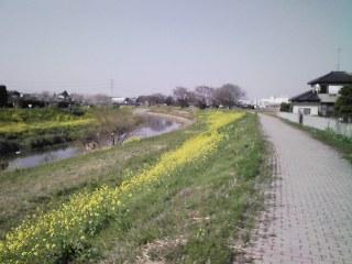 土手の菜の花