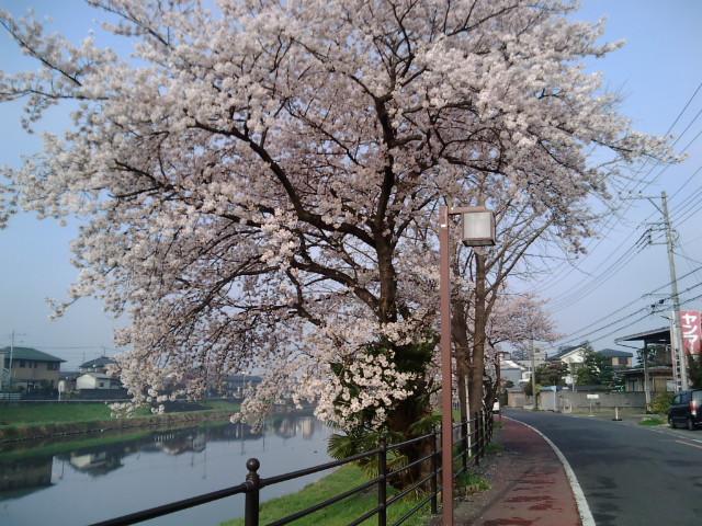 地元の川辺の桜