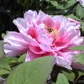 大きなピンクの花