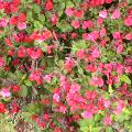小さい赤い花