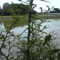 イテイテの木