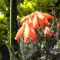 橙色の花?