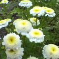中心が黄色の白い花