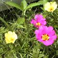 濃い目のピンクと黄色い花