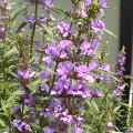 小さい紫の花