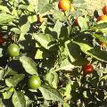 朱と緑の木の実