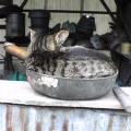 フライパンの中で寝そべる猫