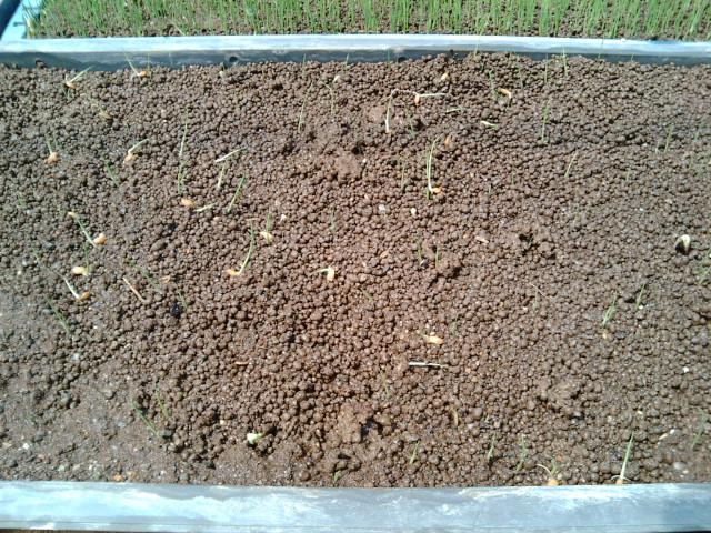 ちょろちょろ芽が出た稲