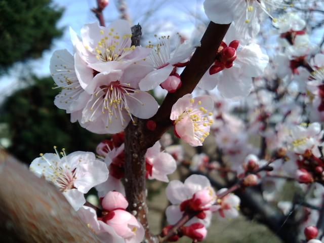 梅の花拡大
