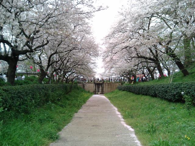 権現堂桜堤5