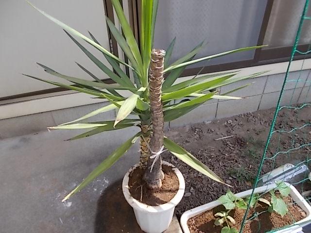 観葉植物をブッタ切って、さし木