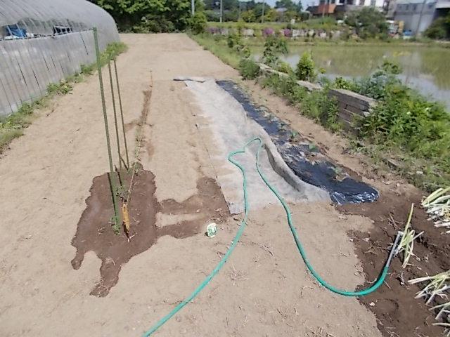 畑に野菜類を植えた