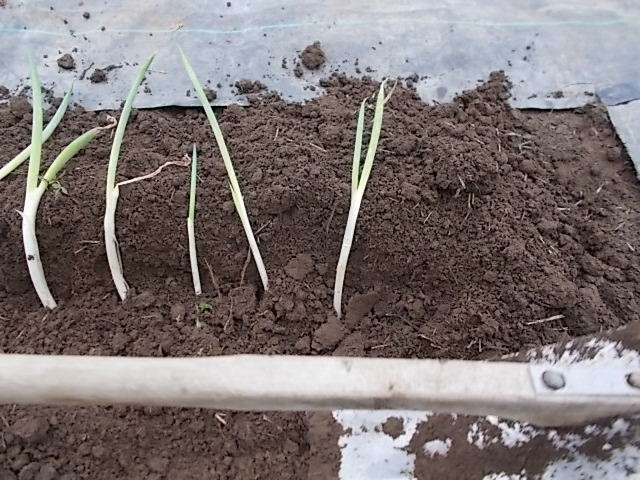 ネギの根に土を被せる