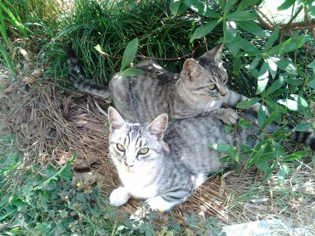 木陰で休むウチのヌコ達